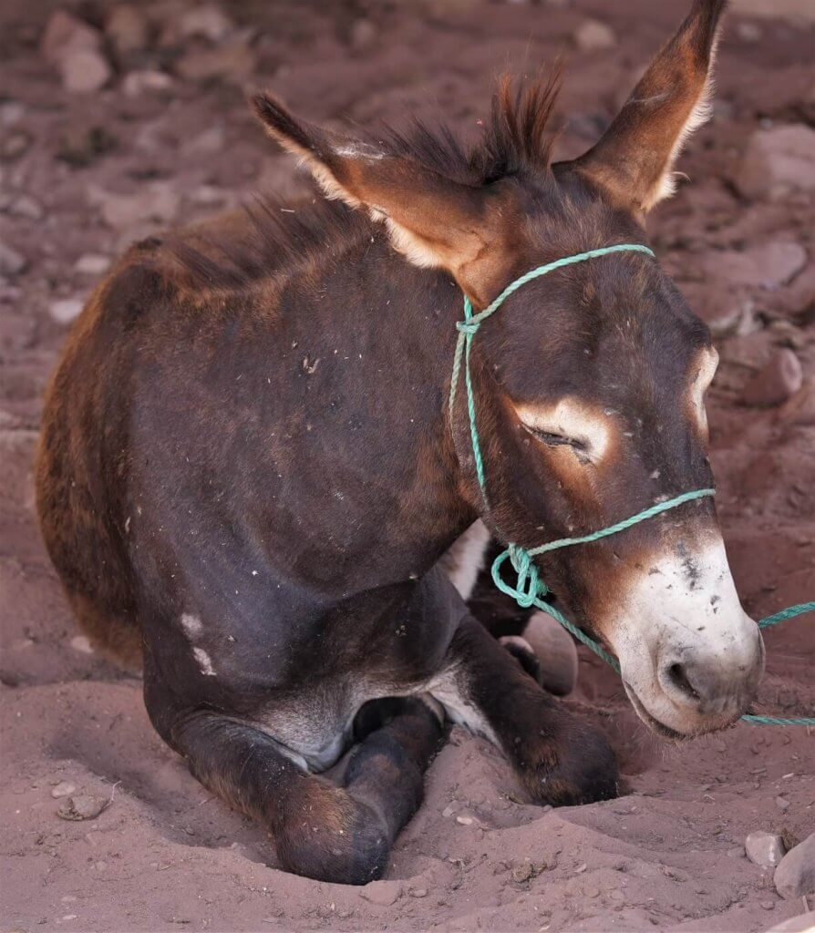 """This exhausted donkey manages to get a moment of rest between trips to Petra's """"Lost City."""""""