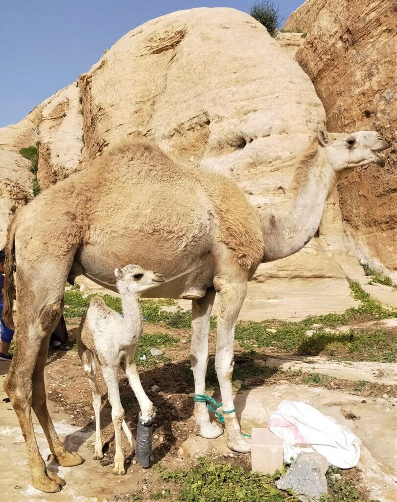 The clinic's veterinary team outfitted this young camel with a cast for his broken leg.