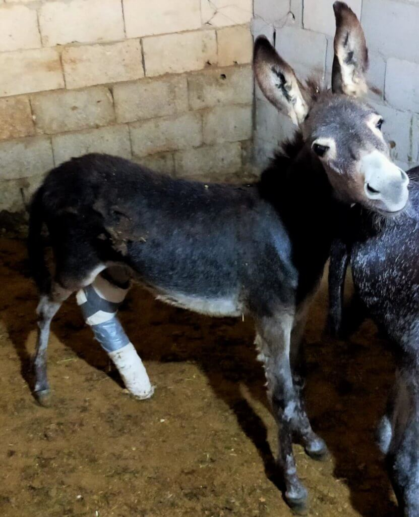 This donkey foal is at the clinic with his mother while he receives treatment for a fractured leg.