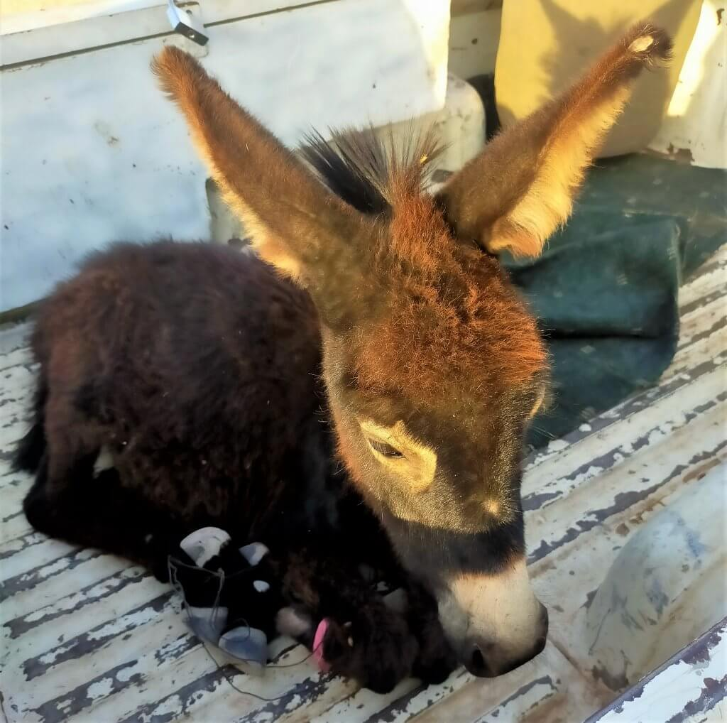 This donkey foal arrived at the clinic with his legs bound together with wire.