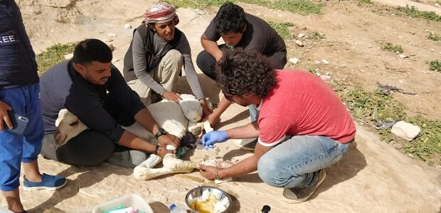 Members of the clinic's veterinary team clean an open wound on a baby camel's front left leg.