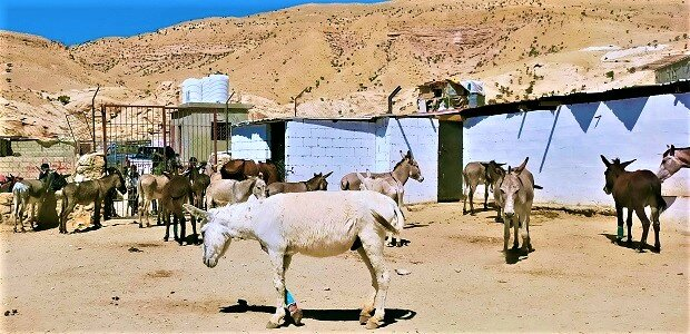 A donkey with a bandage on his front right leg walks through the clinic's rehabilitation yard, while other donkey patients stand in the background.