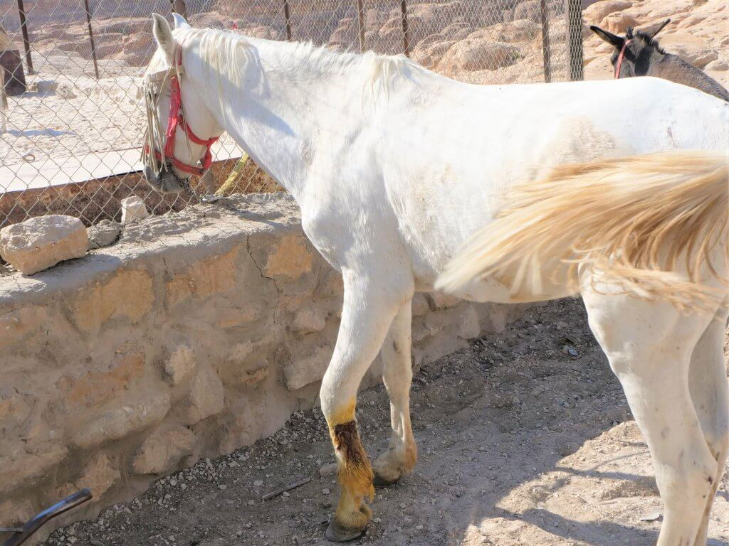 A horse with a wounded front left leg waits outside the clinic.