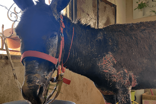 This donkey with severe burns is receiving round-the-clock care at PETA's clinic in Petra.