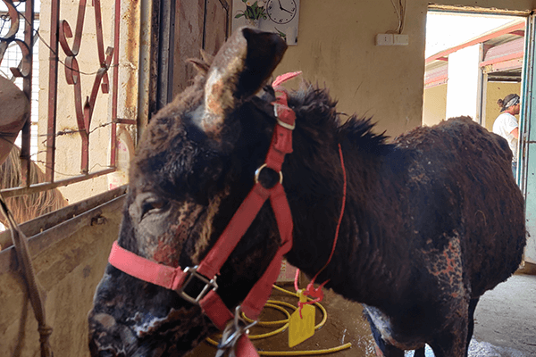 A donkey who was set on fire by a group of children is admitted to the clinic.