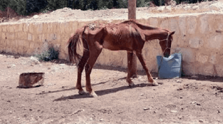 Starving Horse Helped by Persistent Clinic Staff
