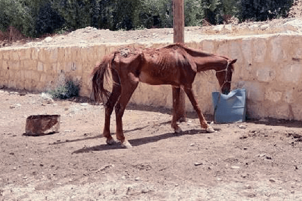 A severely malnourished horse languishes next to a pole without shade.